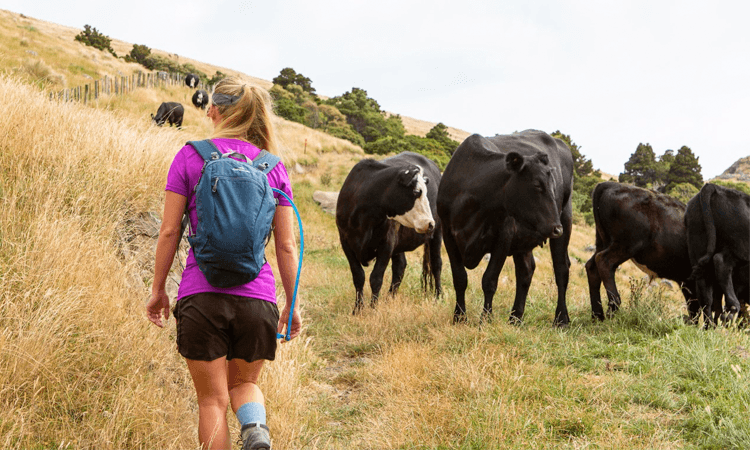 Banks Peninsula Adventure Race Canterbury 2019 hiker cows